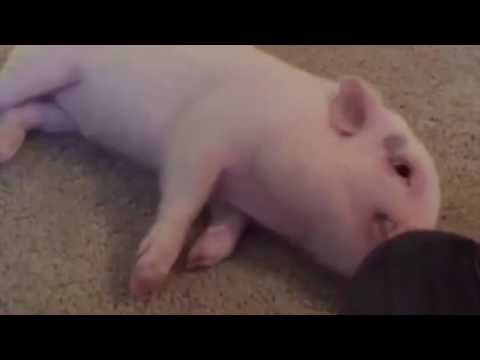 Pickle The Pig In A Rush For A Belly Rub