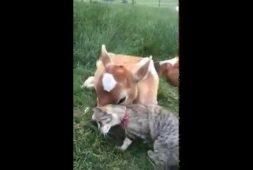 calf-and-cat-are-best-friends