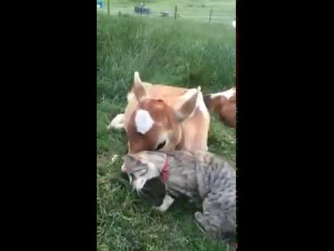 Calf And Cat Are Best Friends