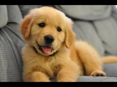cute-golden-retrievers-compilation