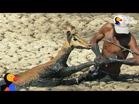 Man Swims Through Thick Mud To Save Trapped Impala
