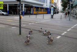 ducks-wait-at-crosswalk-for-green-light