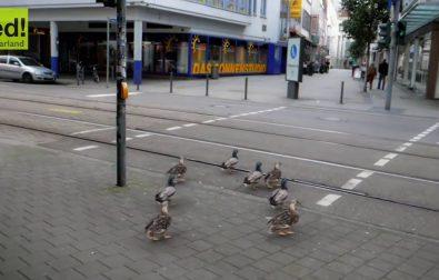 ducks-wait-at-crosswalk-for-green-light