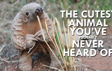 pangolins-are-the-cutest-animals-youve-never-heard-of