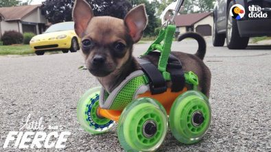 tiniest-puppy-loves-to-race-around-on-his-wheels