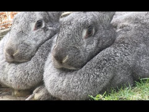 Meet The Giant Flemish Rabbits