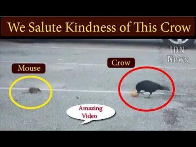 crow-helps-feed-a-hungry-animal