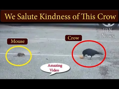 Crow Helps Feed A Hungry Animal