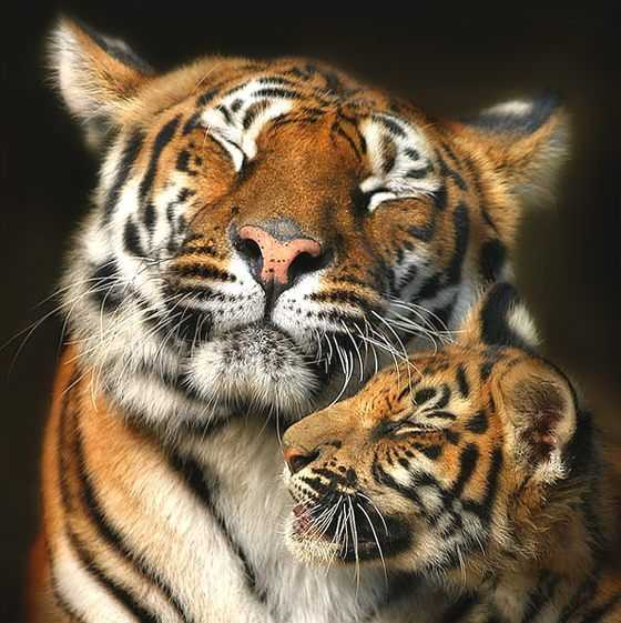Tigers Cannot Purr, But Blink To Show Happiness