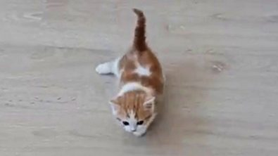 super-cute-kitten-swim-walks-across-the-floor