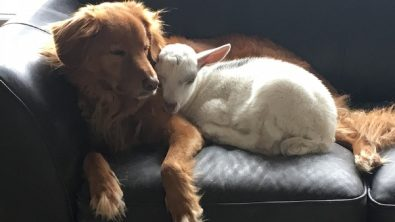 a-goat-and-his-dog-best-friend