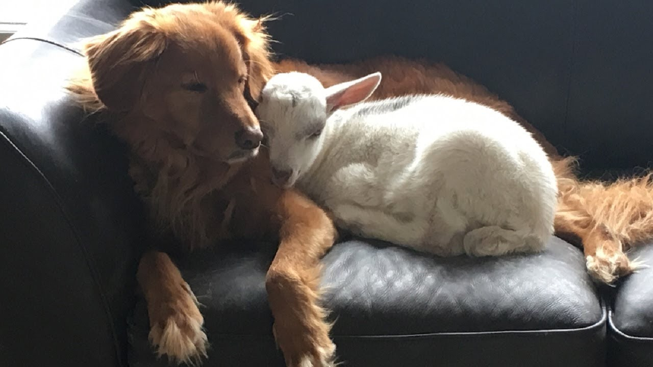 A Goat And His Dog Best Friend