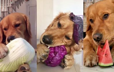 golden-doggie-enjoying-his-fruits-and-vegetables