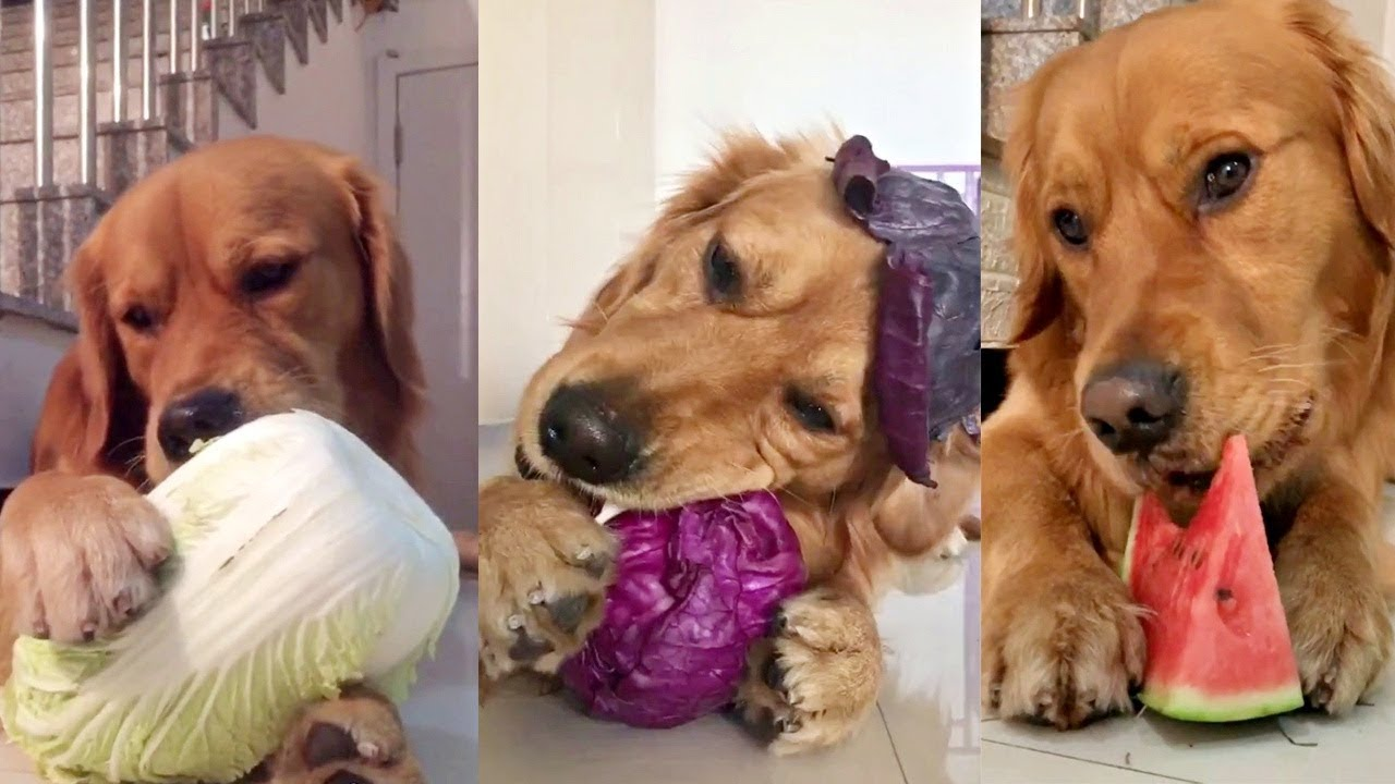 Golden Doggie Enjoying His Fruits And Vegetables