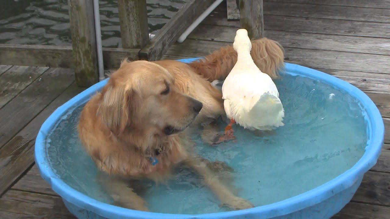 The Story Of A Duck And Dog