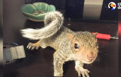 hammy-the-rescued-squirrel-is-queen-of-the-house