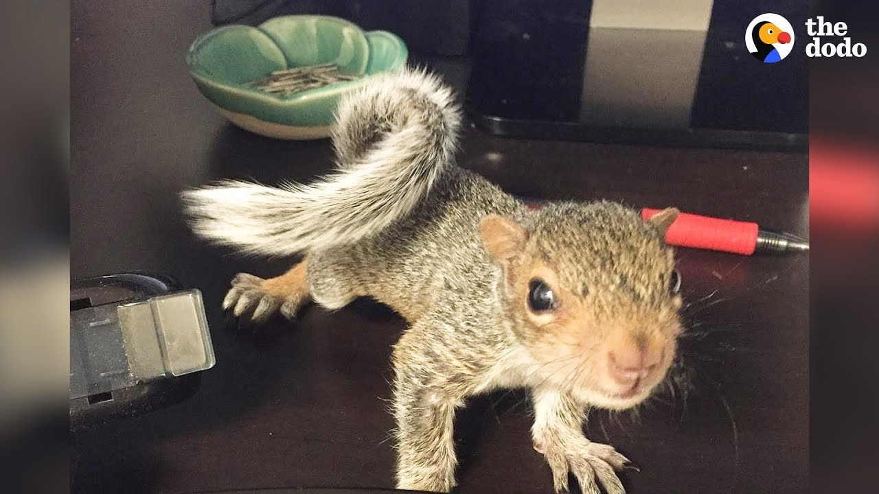 Hammy The Rescued Squirrel Is Queen Of The House