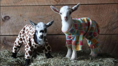 goat-kid-pajama-party