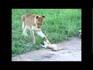 lioness-plays-with-her-cub