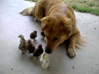 dog-finds-and-adopts-10-baby-chicks