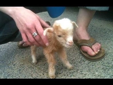cute-baby-goat-compilation