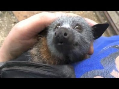 baby-bat-cooing-while-being-petted