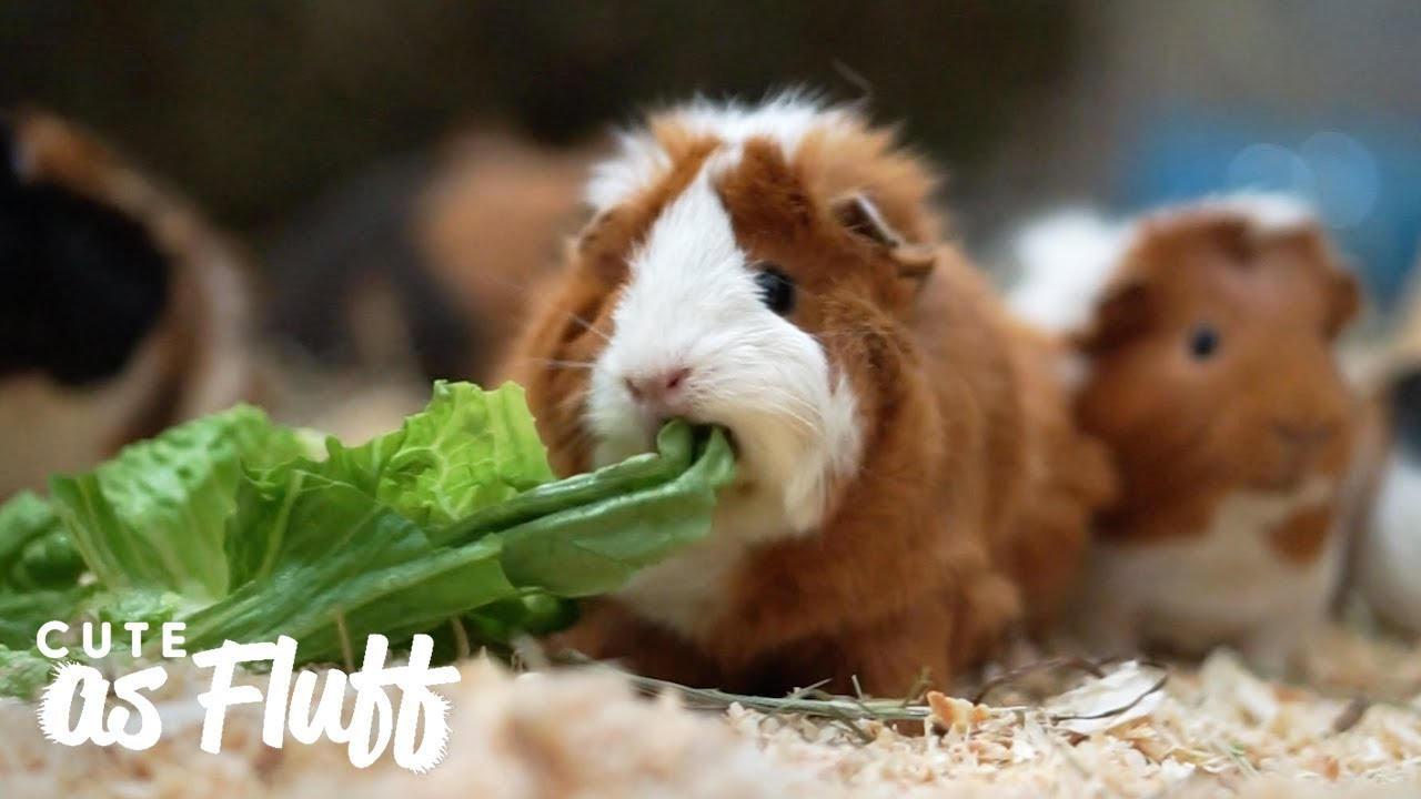 Womand Rescues Thousands Of Guinea Pigs