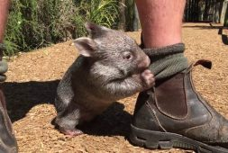 meet-george-the-wombat