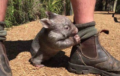meet-george-the-wombat