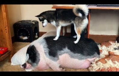 how-to-wake-a-pig-if-you-are-a-dog