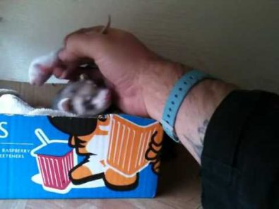ferret-shows-human-her-babies