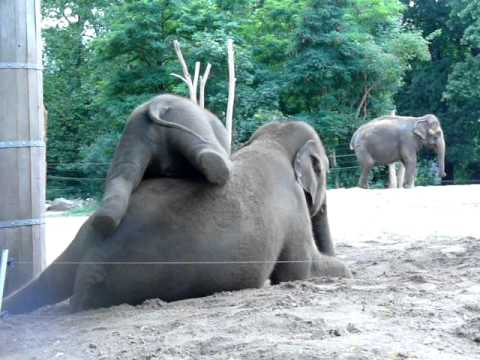 Baby Elephant Plays With Elephant Mom