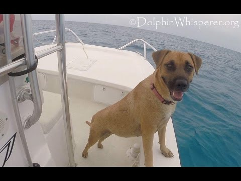 Dog Jumps Off Boat To Swim With The Dolphins