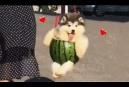 fluffy-watermelon-puppies