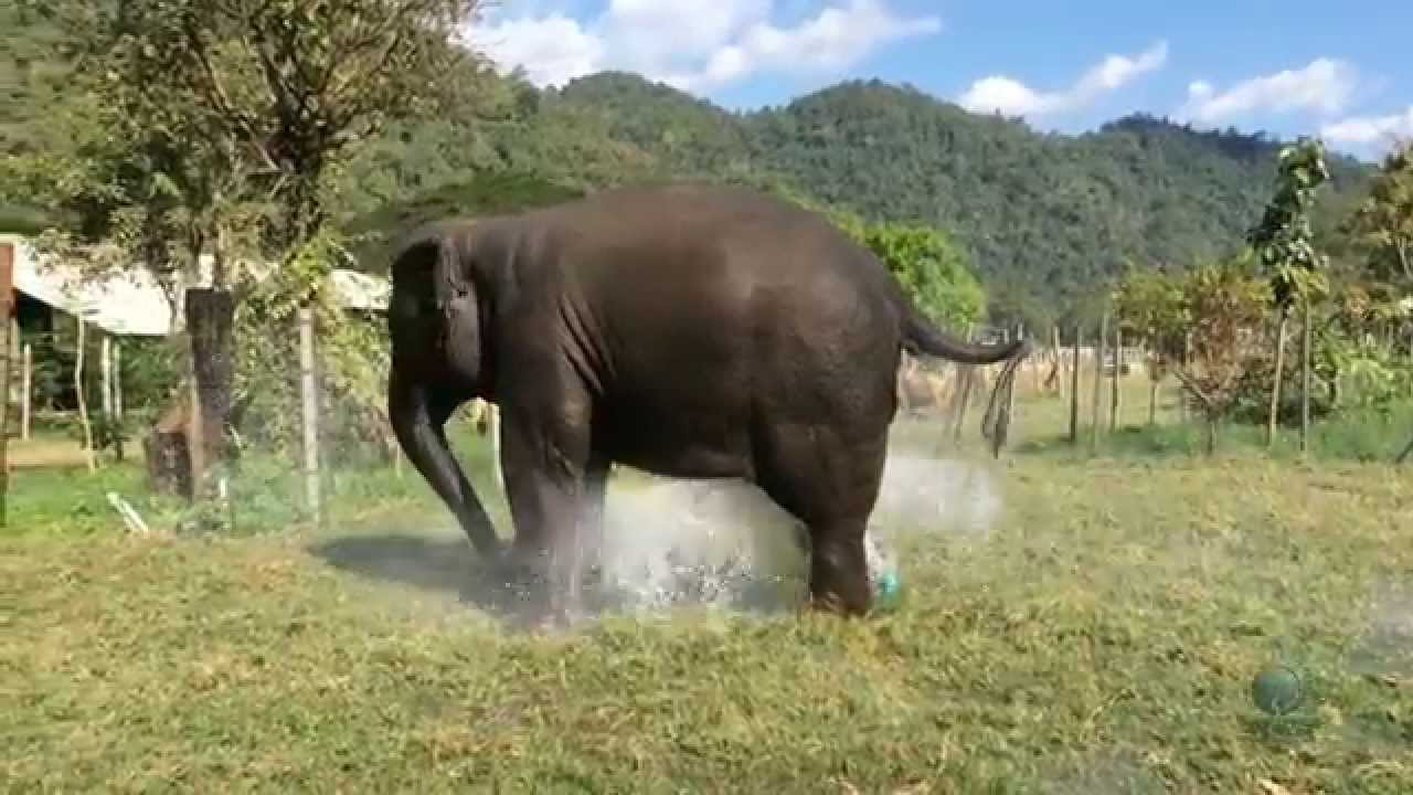 Elephant Converts Their Own Sprinkler Into A Fountain