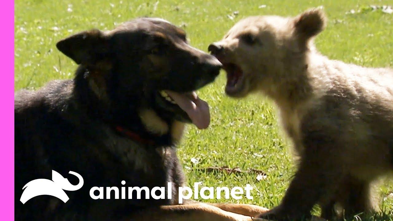 Bear And German Shepherd Become Best Friends