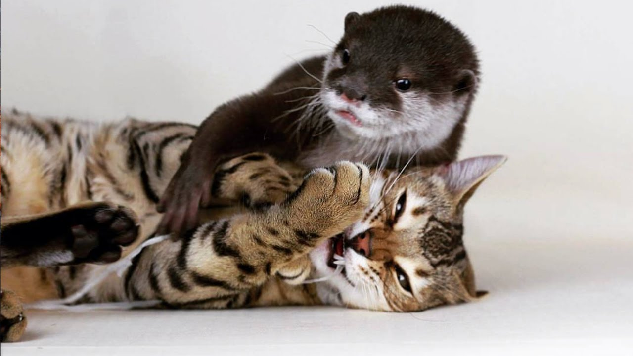Bengal Cat And Otter Are Best Friends