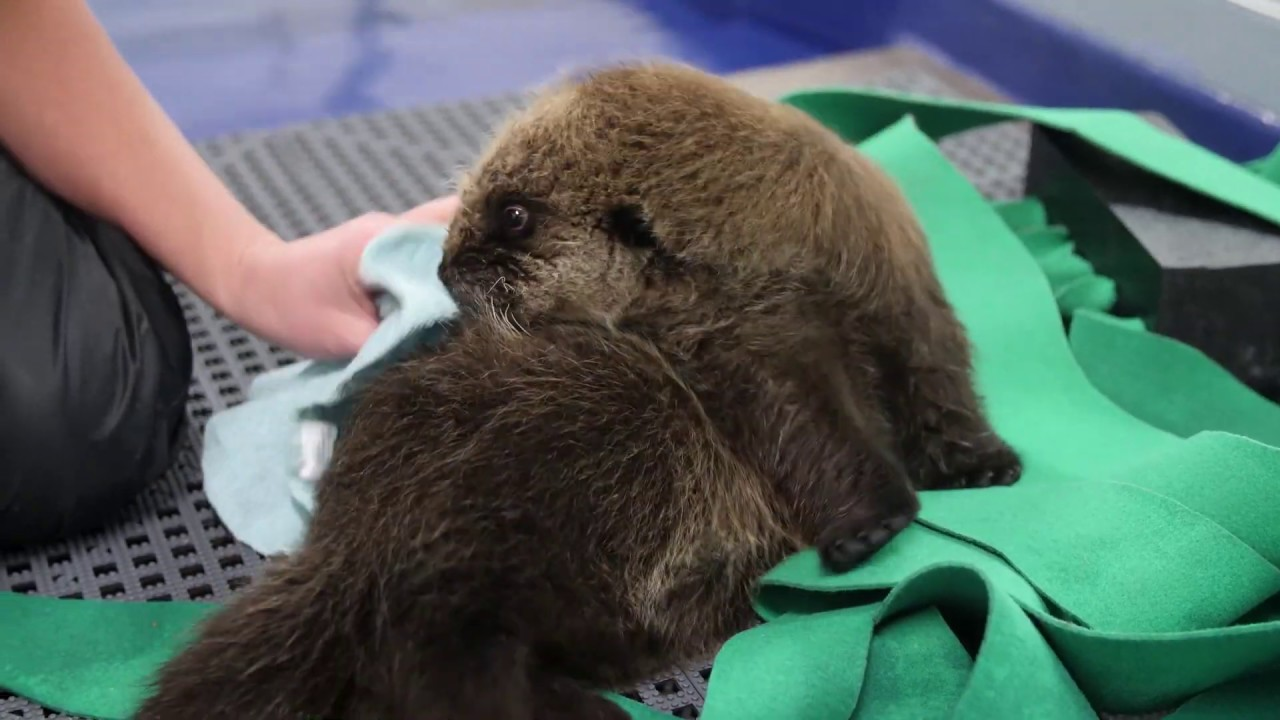 Sea Otter Pups Learn to Groom!