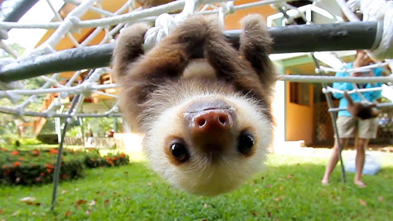 What Does The Sloth Say?