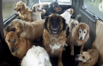 the-doggie-school-bus-picks-up-dogs-for-school