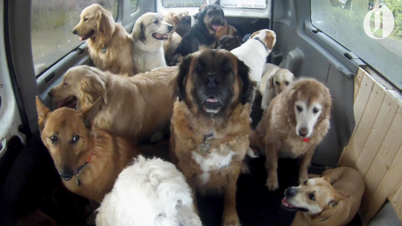 The Doggie School Bus Picks Up Dogs For School