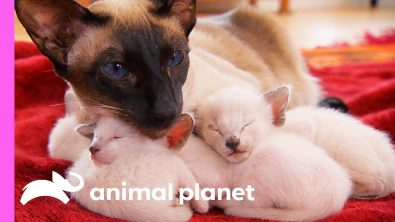 the-story-of-the-adorable-siamese-family