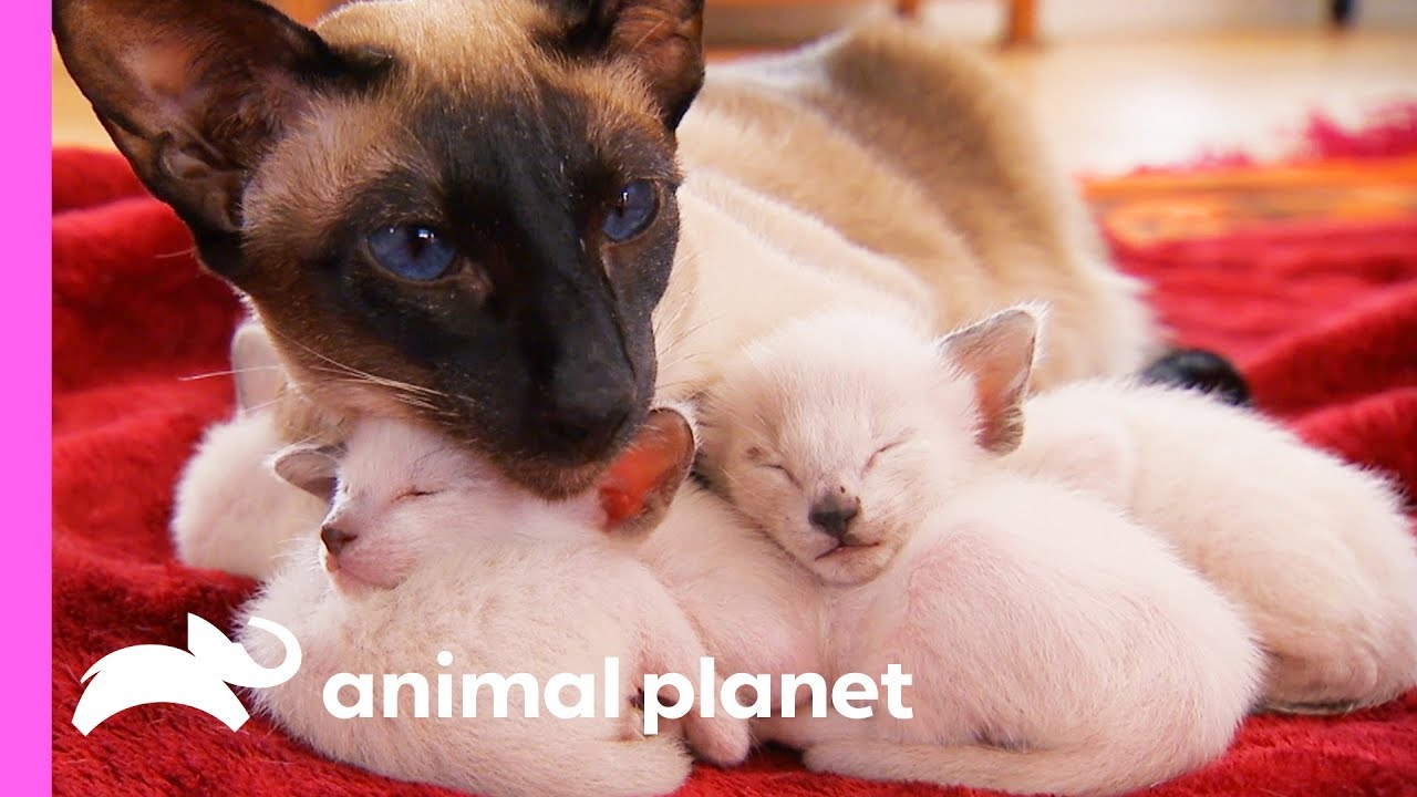 The Story Of The Adorable Siamese Family