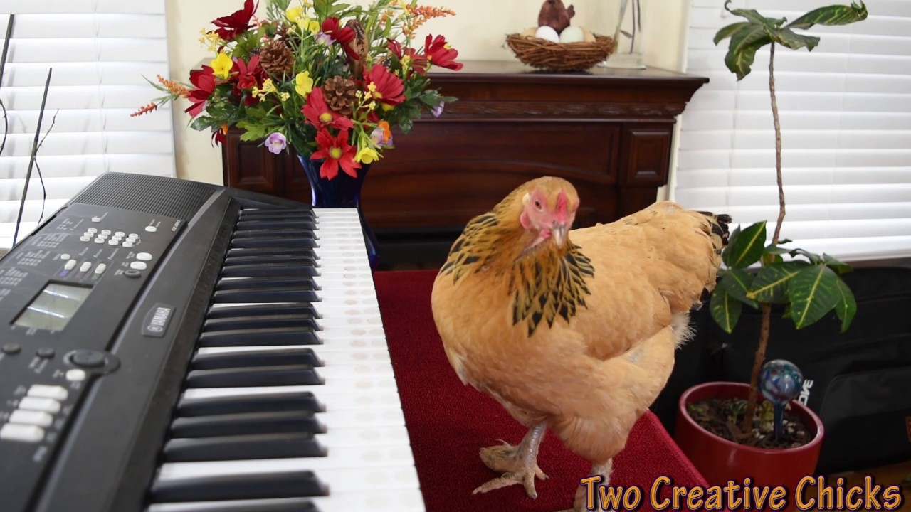 Chicken Plays Operatic Aria On Piano
