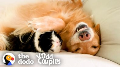 guinea-pig-and-golden-retriever-are-best-friends