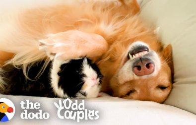 guinea-pig-and-golden-retriever-are-best-friends