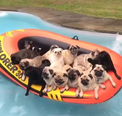 pug-pool-party