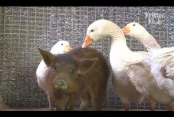 geese-love-and-protect-a-piglet