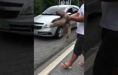 man-helps-sloth-cross-the-street