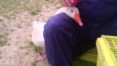 goose-who-loves-human-petting-them